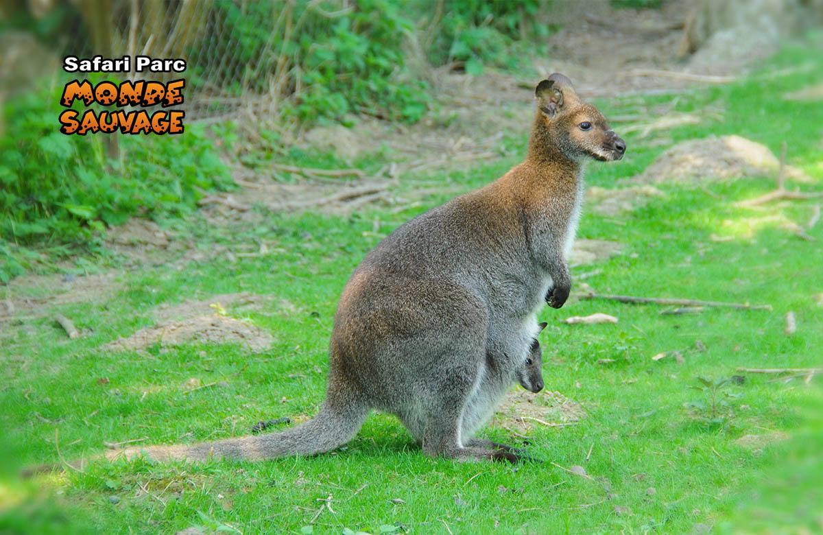 monde sauvage safaripark aywaille de dieren het park secteur australie. Black Bedroom Furniture Sets. Home Design Ideas