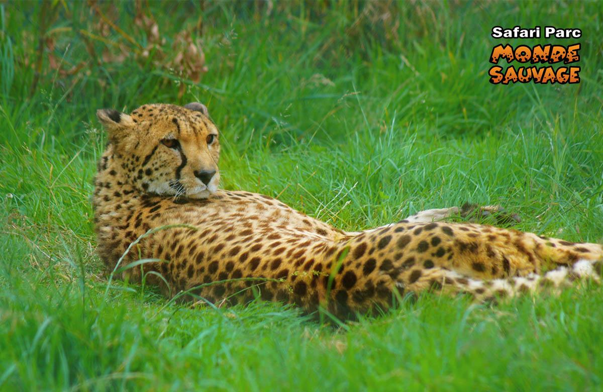 monde sauvage safari parc aywaille parc animalier zoo le parc les grands fauves. Black Bedroom Furniture Sets. Home Design Ideas